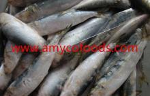 Frozen Sardines high quality assured