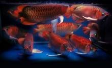 Top Quality Arowana Fishes