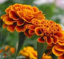 Marigold extract lutein 5% 10% 20% 80%