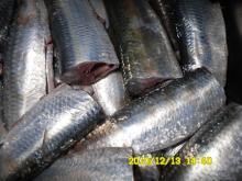 sardine gutted