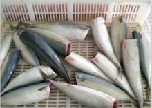 pacific mackerel HG