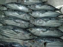 whole skipjack tuna