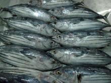 whole skipjack tuna