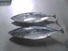 skipjack tuna whole