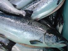 Atlantic salmon (Salmo salar) Fish