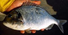 Gilthead sea Fish