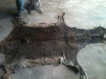 Wet Salted Donkey Hides For Sale