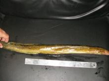 SALE OFFER FOR FROZEN FRESHWATER EEL (TIRE TRACK / YELLOW EEL)