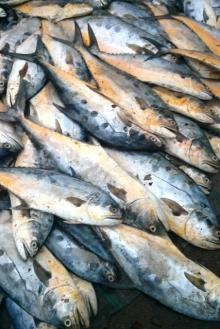 Sale Offer for Frozen Queenfish