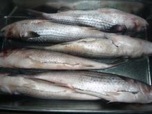 New landing manufacture promo grey mullet without roe