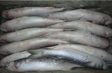 New landing frozen grey mullet whole round