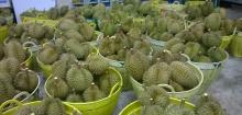 Fresh Durian Fruits