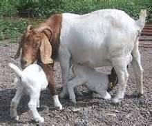 Live Boar Goats/ Live Simmental Goat/Live Senean Goat Pregnant Goat