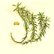 Huperzia   Serrata  Extract(HUPERZINE-A)