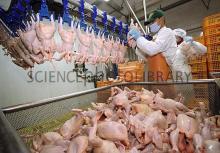 Halal Frozen Whole Chicken Grade A
