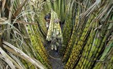 HIGH   QUALITY   sugar  cane, BEST PRICE