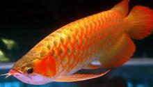 Arowana Fish for sale