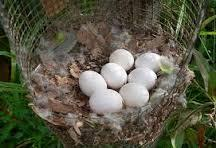 HOT SALE !!! Fertilized Parrots Eggs for sale
