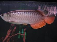 Red Tail Golden Arowana Fish