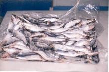 Frozen Whole Sardine