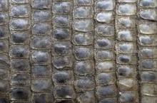 Dried crocodile skin