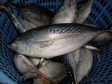 Bonito Tuna fish at competitive prices
