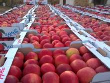 A Grade Fresh Fuji Apples