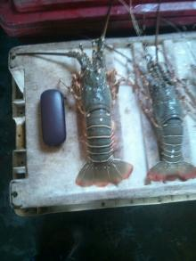 Sale Offer of Fresh Bambo Lobster