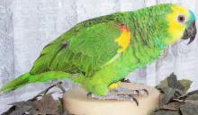 Blue Fronted Amazon parrots and Eggs for sale