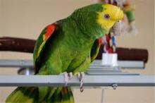 Double yellow head Amazon parrots and Eggs for sale