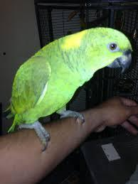 Yellow Nape Amazon parrots and Eggs for sale
