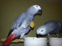 pairs of african grey parrots