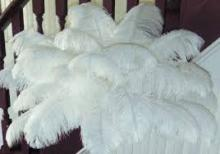 Ostrich   Feather s