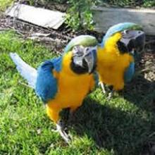 A pair Blue and Gold Macaws parrots and Eggs