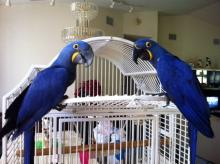 Hyacinth Macaws parrots and Eggs for sale