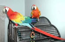 Pairs of Camerlot Macaws parrots and Eggs for sale