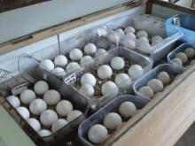 healthy baby parrots and parrot eggs