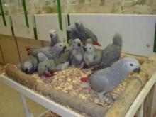 Fresh Laid Guaranteed Fertile Tested Parrot Eggs