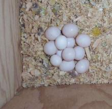 Fertile and healthy parrot eggs for sale