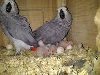 Parrots and Fertile Parrot Eggs Available