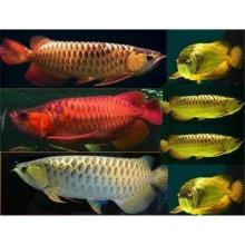 Quality Blue color Arowana fish
