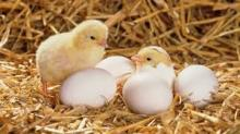 Broiler day old Chicks for sale/COMMERCIAL BROILER CHICKS/ROSS308/COBB500/HUBBARD