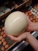 Ostrich Eggs for X-MASS