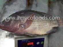 Frozen Tilapia Fish Whole Round 800+ high quality 100% fresh