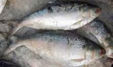Shallow Skinless Boneless Frozen Tilapia Fish Fillet