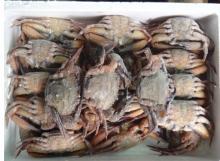 Black crab/Stone swimming crab