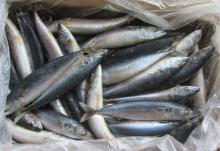 FROZEN WHOLE ROUND PACIFIC MACKEREL -SCOMBER JAPONICUS