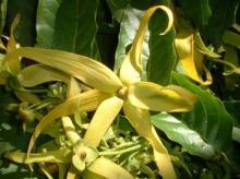 Ylang Ylang Oil in Bulk Wholesale Ylang Ylang essential oil nature elements essential oils