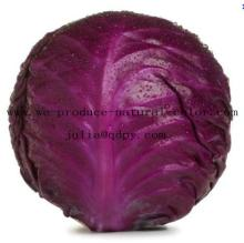 Natural red colorant producer cabbage red