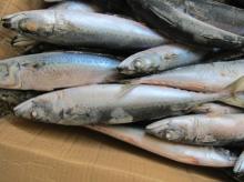 Frozen Whole Atlantic Mackerel (scomber scombrus), Whole Pacific Mackerel (scomber Japonicus)